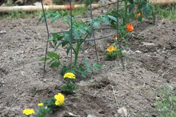 marigolds planted around the tomato