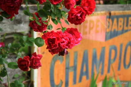 roses on the fence