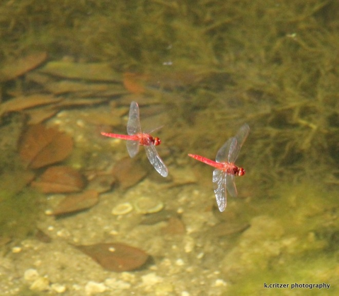 1-red dragonfly pair