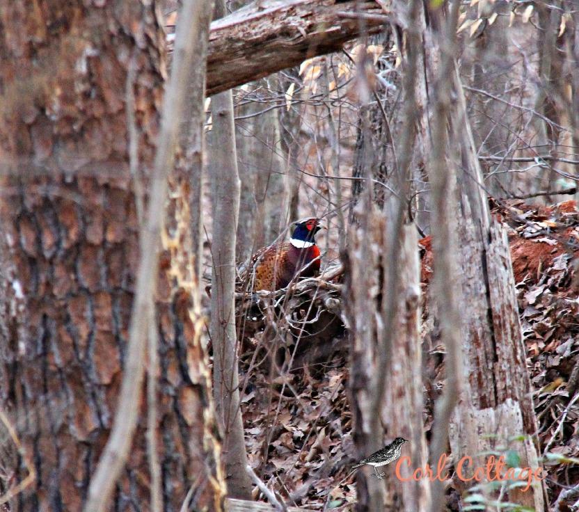 pheasant inwoods.jpg