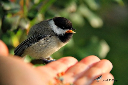 hand-feeding a chickadee