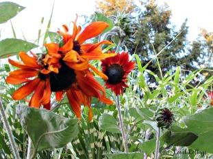 sunflowers are my glory