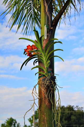 Orchid in our palm tree