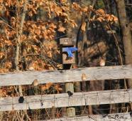 Bluebird happiness