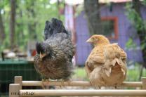 chicks 5