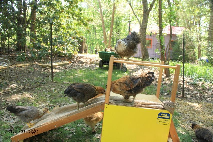 chicks on slide 4