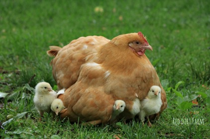 daisy and her chicks