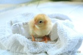 darlenes chick incubator hatch #2 2