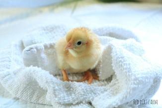 darlenes chick incubator hatch #2 2