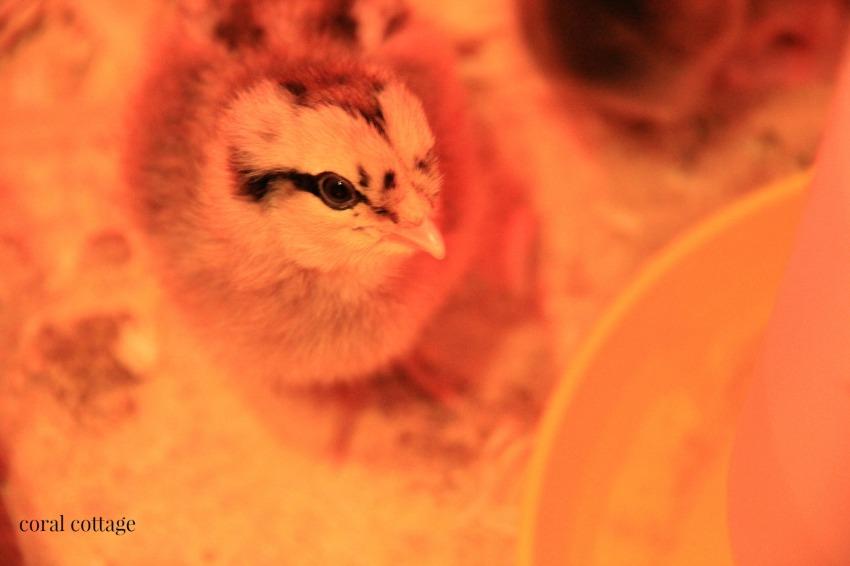 Chicks have arrived