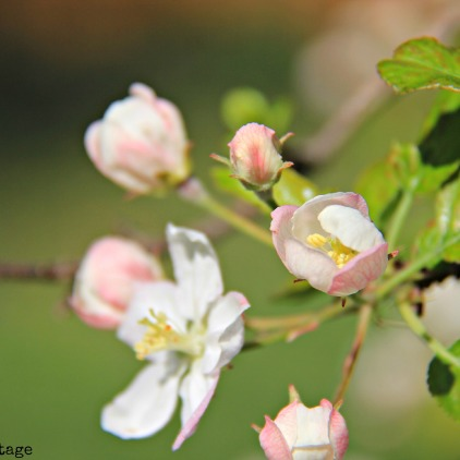 pink apple blooms