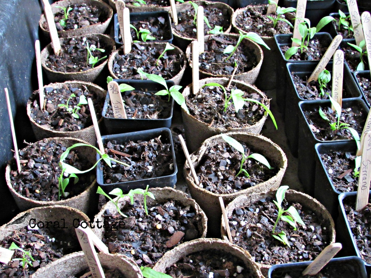 jalapeno seedlings