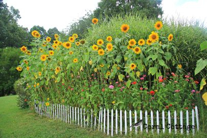 Sunflowers and white picket fence