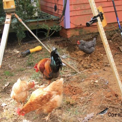 Chickens under the laser level