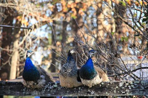 peacocks 1
