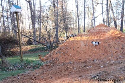 Peanut climbs the pile of dirt