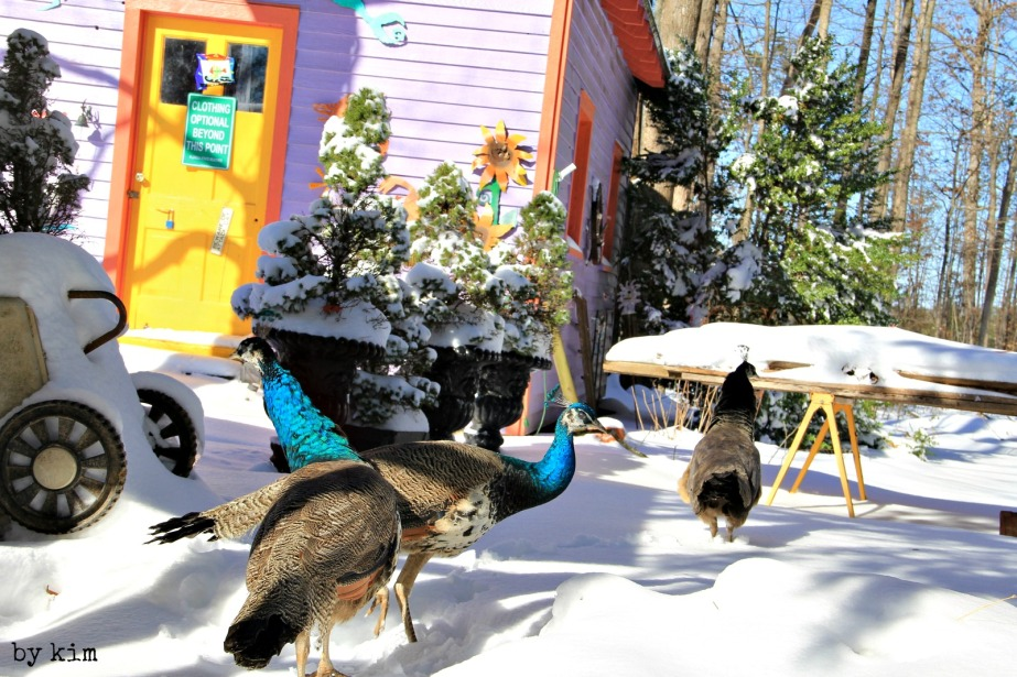 The peafowl take their firs snowy steps