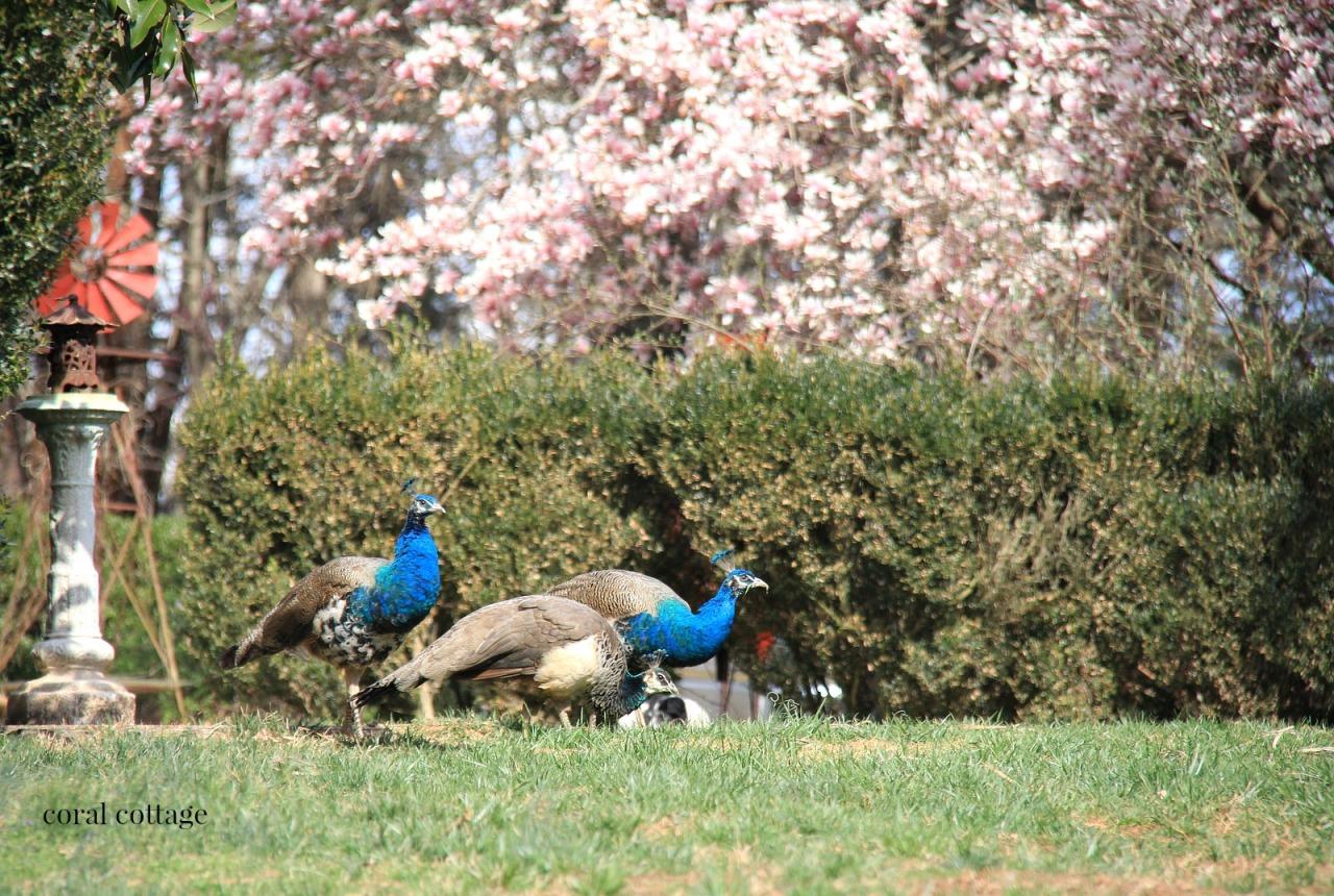 saucer magnolia and peacocks
