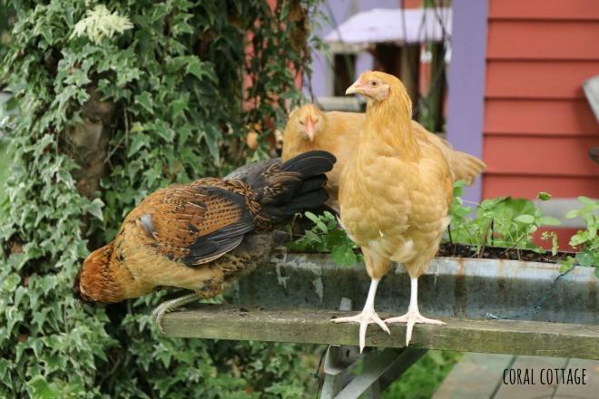 chicks on the feeder