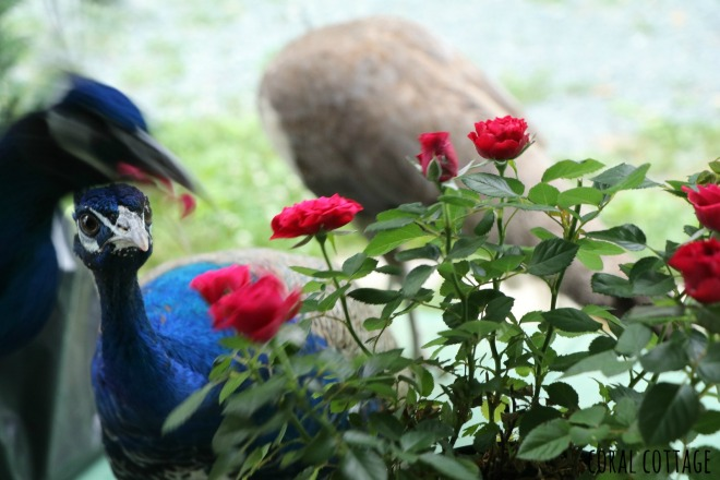 peafowl and roses