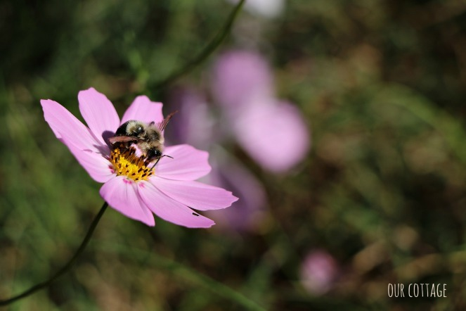 bee-on-the-cosmos