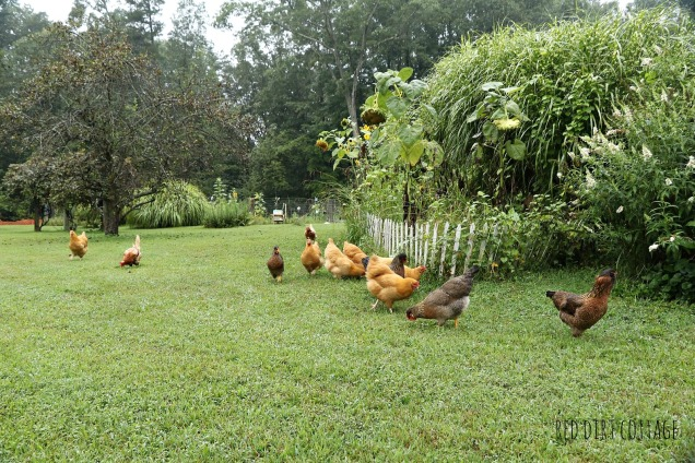 chickens-in-the-yard
