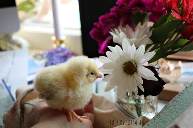 delaware-chick