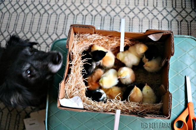 boo-with-new-chicks