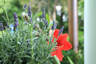 lavender and amaryllis