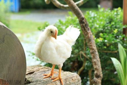 leghorn chick