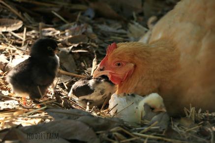 dottie dust bath with chicks 2