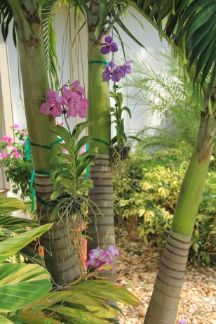 Orchids growing in our palm trees