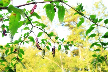 poke berry 2