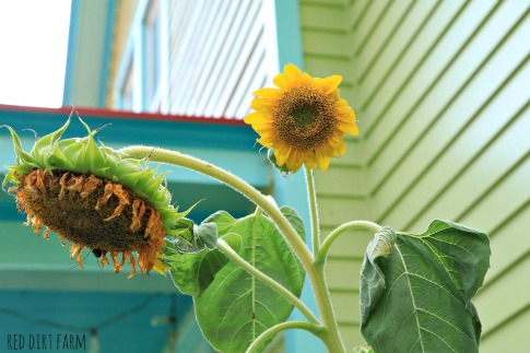 sunflower at the porch