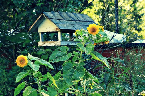 sunflowers by the birdfeeder