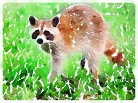 Lulu the raccoon