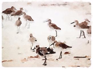 shorebirds Captiva Island