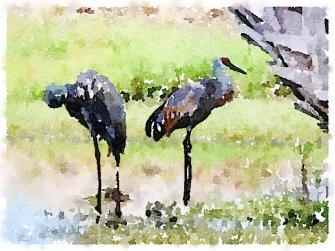 Storks in Florida