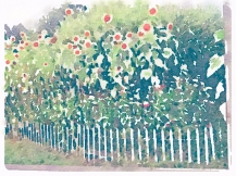 Sunflowers behind the fence
