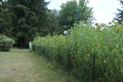 Mr. Red Dirt watering the sunflower garden